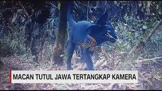 Penampakan 3 Ekor Macan Tutul Jawa Terekam Kamera