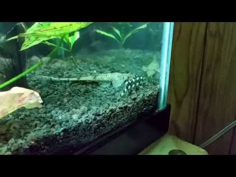 A Look At Some Of My Loaches.