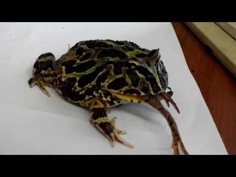 Лягушка ест лягушку