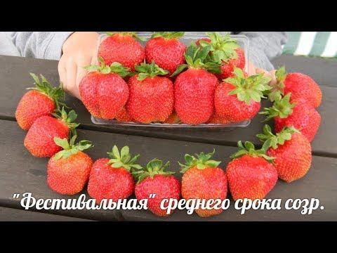 """КЛУБНИКА """"Фестивальная"""" начало созревания"""
