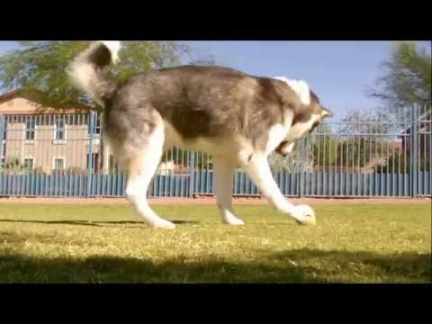 Siberian Husky Dog Park Day 79 With Shadow And Charlie