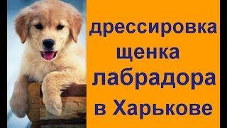 дрессировка щенка лабрадора в Харьков