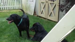 Rottweiler Playing With Labrador Retriever