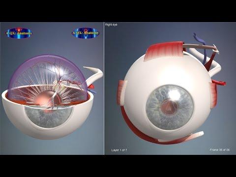 Eye structure, Eyeball | 3D Human Anatomy | Organs - YouTube