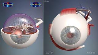 Eye structure, Eyeball   3D Human Anatomy   Organs