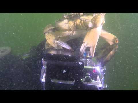 Crab trying to eat Albert Dekker's GoPro
