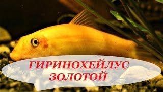 Сомик Гиринохейлус Золотой содержание в аквариуме, совместимость, разведение, уход
