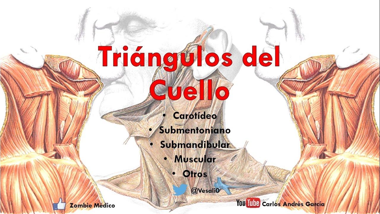 Anatomía - Triangulos del cuello (Límites, Contenido, Suelo ...