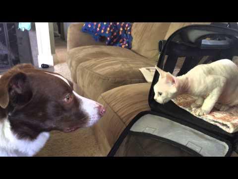 Devon Rex KITTEN MEETS a DOG for the FIRST TIME!!!