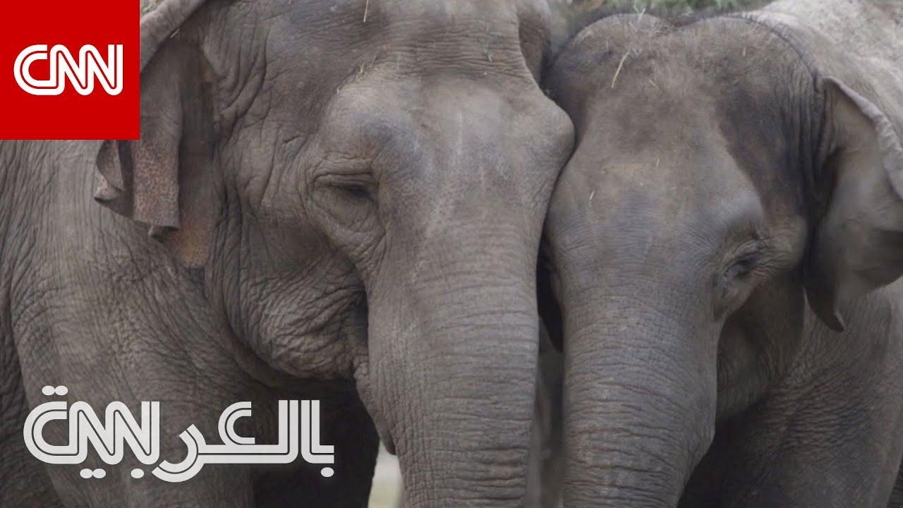بعد -تقاعدها-.. فيلة سيرك سابقاً تصل إلى -منزلها- الجديد في البرية  - نشر قبل 2 ساعة