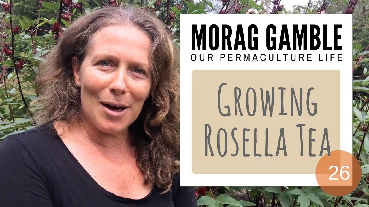 How To Grow Harvest And Use Rosella Hibiscus Sabdariffa Our