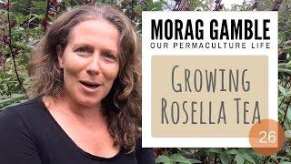 Growing Rosella: Edible Hibiscus