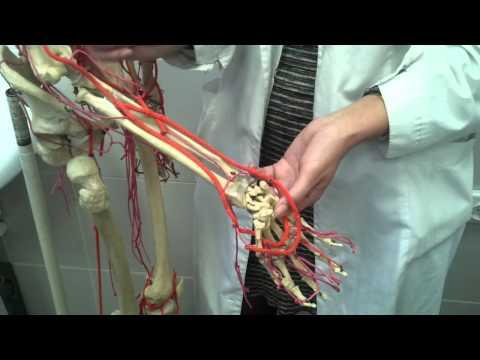 АНАТОМИЯ! Артерии верхней конечности ( плечевая артерия )