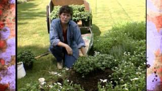Dividing and Planting Fall Mums