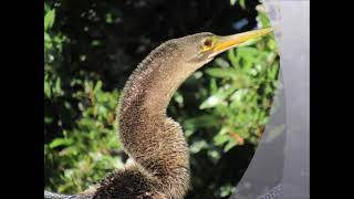 Anhinga [Snake Bird]