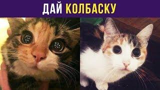 Приколы с котами. Дай колбаску | Мемозг #70