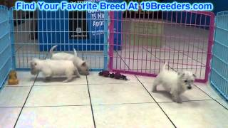 Westie Puppies For Sale 19breeders
