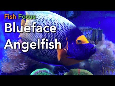 Fish Focus: Blue-Faced Angelfish