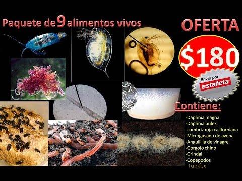 Gente Betta México Oficial-Cómo Iniciar Un Cultivo De Tubifex Paquete GBM