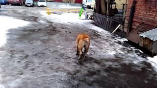 Нашли собаку Ижевск, азиат