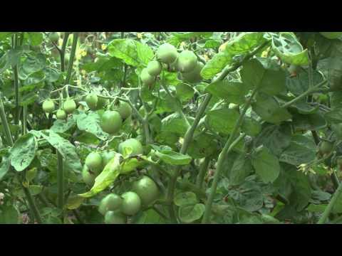 Формирование томатов в 1 - 2 - 3 стебля + Пасынкование