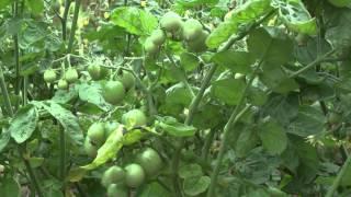 Формирование томатов в 1 - 2 - 3 стебля + Пасынкование(Видео о том, какие типы томатов как формировать (или не формировать). Варианты формирования в один, два или..., 2014-06-29T17:44:35.000Z)