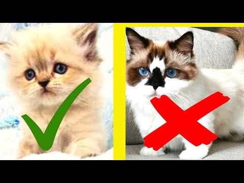 How can you tell if you have a Himalayan cat?