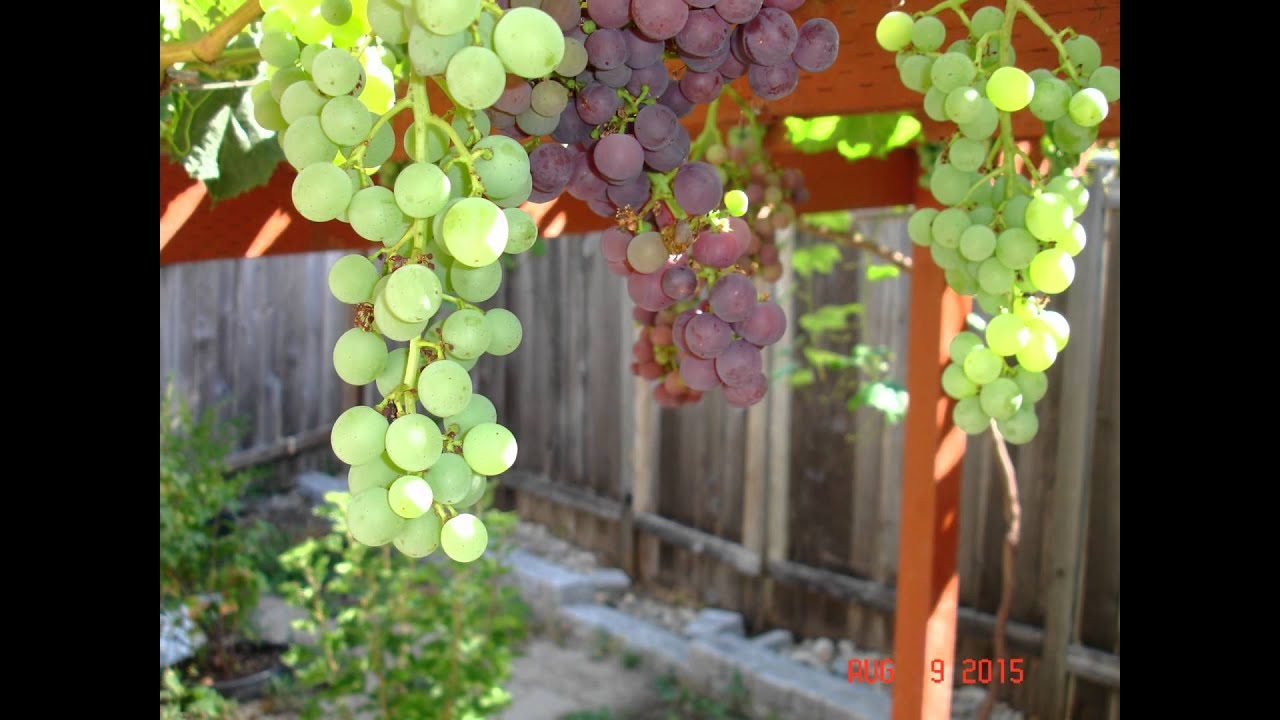 Growing grapes in back yard Seattle WA - YouTube