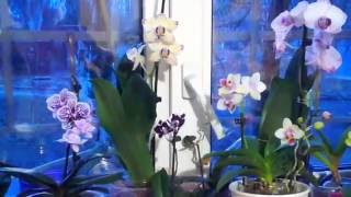 ❀Орхидеи  Комнатные цветочки. Цветошки на окошке \ Orchids  Potted flowers.  Flowers on the window(, 2016-05-20T16:44:10.000Z)