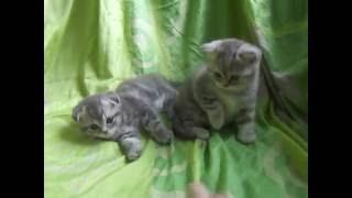 Шотландские котята 1 мес