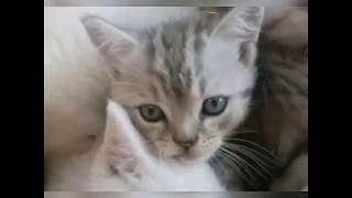 Котята Скоттиш фолд.
