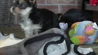 Linda Yoder's Yorkshire Terrier Puppies