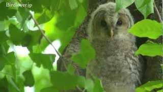 フクロウのヒナの巣立ち。 詳しくはホームページで http://www.birdlove...