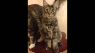 Кошечка Мейн кун 4,5 месяца