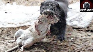 Rat Infestation DESTROYED by Bear the Mink!