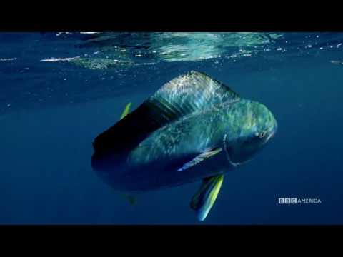 The Hunt - FLYING FISH MAKE LEAPS OF FAITH (EP 4) - Sundays At 9|8c On BBC AMERICA