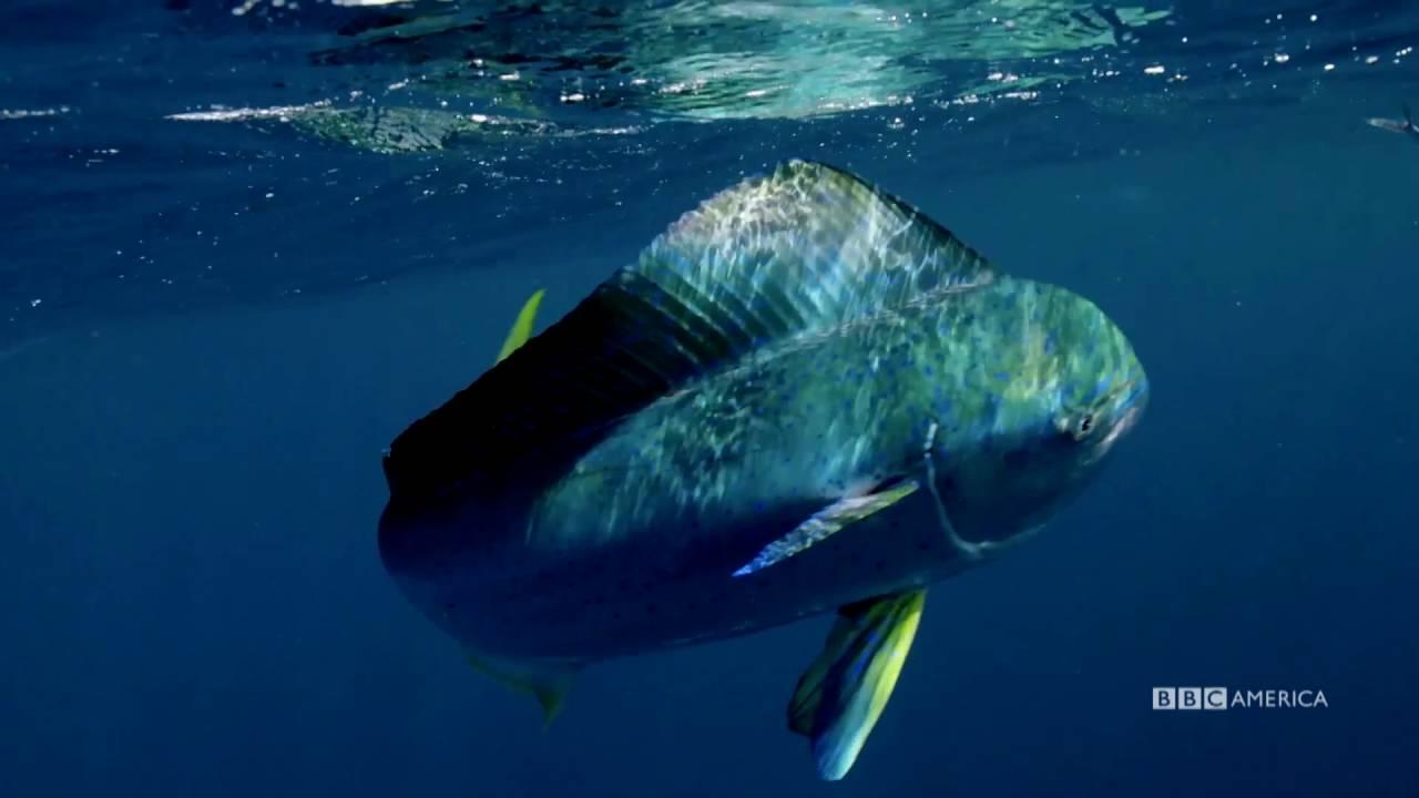 flying fish by cacodaemonia - photo #34