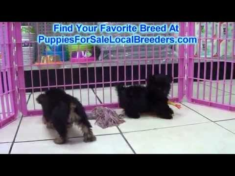 Yorkie Poo, Puppies, Dogs, For Sale, In Denver, Colorado, CO, 19Breeders, Fort Collins, Arvada