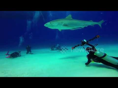 Absolutely beautiful HD footage of tiger sharks off the coast of the Bahamas