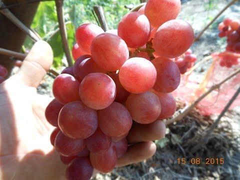 сорта подарок винограда фото ирине