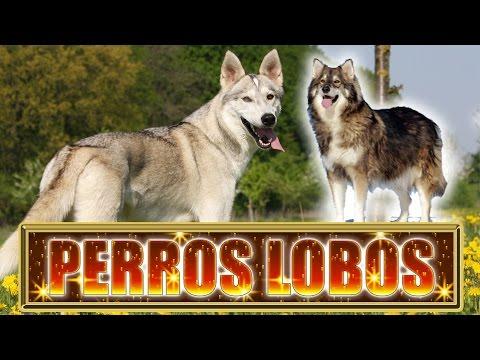 10 Razas de Perros que Parecen Lobos