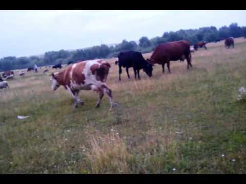 Парнуха бык корова