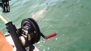 Shark Fishing, 50-60lb Scalloped Hammerhead Shark