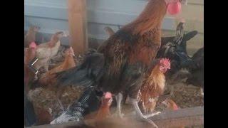 دجاج بلدي بصحة جيدة للبيع حراج