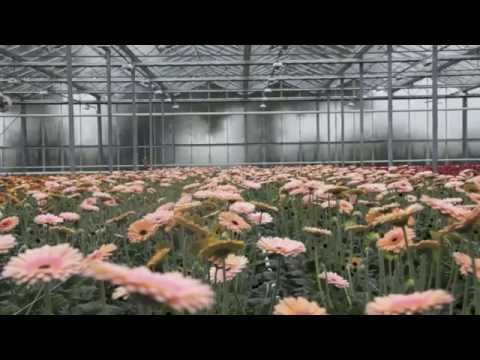 Gerbera Breeder in Holland - Skyline Flowers