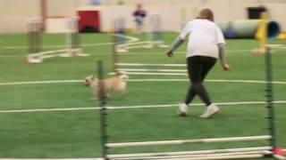 Fox  Doing Agility Races At Hounds For The Holidays
