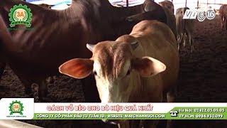 Cách vỗ béo bò hiệu quả nhất - Kiến thức chăn nuôi bò