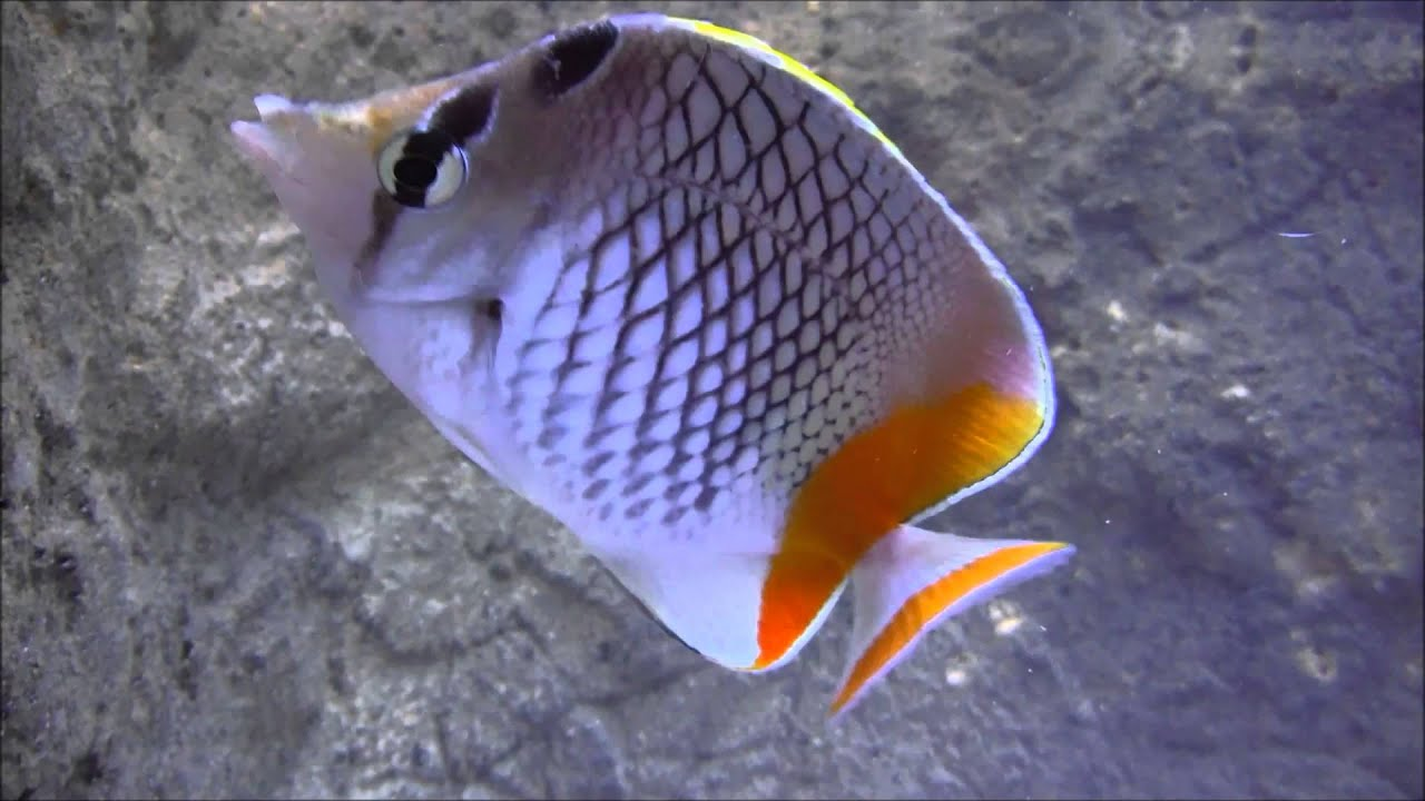 Pearlscale butterflyfish - YouTube