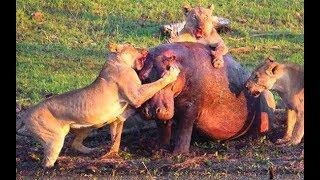 Animals Attack! Hyenas Attack Hippo! Lions vs Hippo! Crocodile Attack