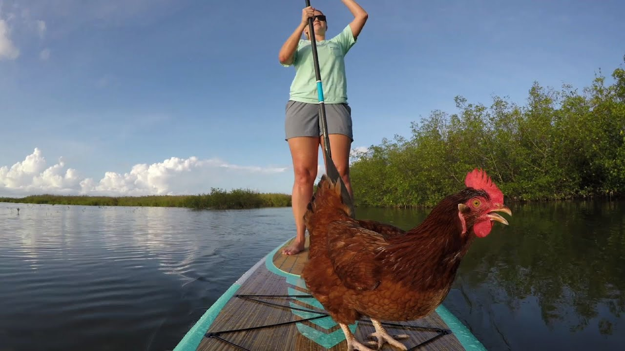 paddleboarding-chicken-makes-waves-in-fla